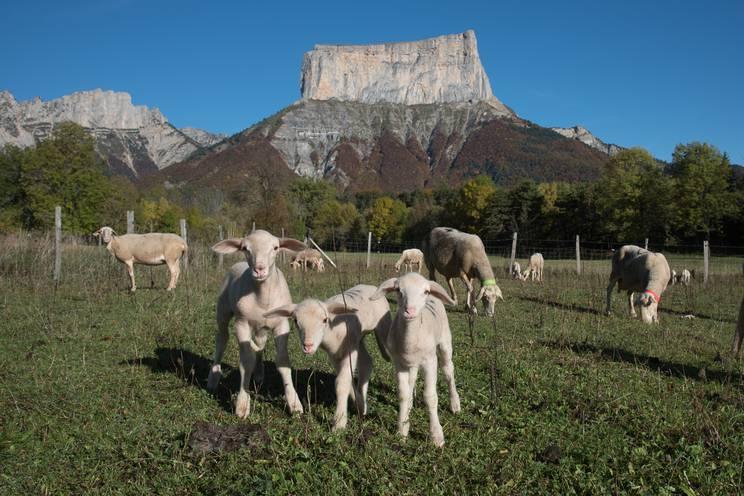 Chichilianne . GAEC de la Touche avec Christelle Durand , éleveuse de brebis laitières . Agneaux et brebis devant le mont Aiguille.jpg